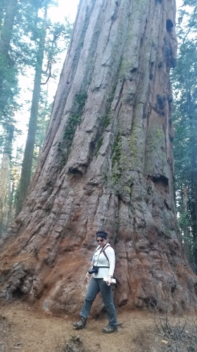 Sequoia in Calaveras California