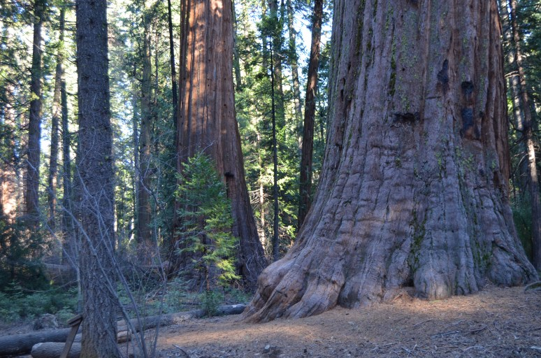 Sequoias, Calaveras Big Trees