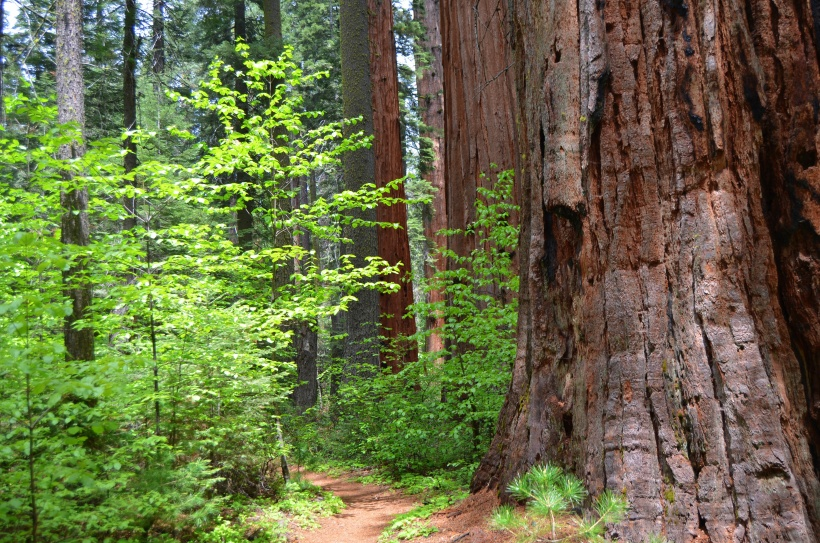 Calaveras Big Trees, Sequoia's of the South Grove, Arnold CA