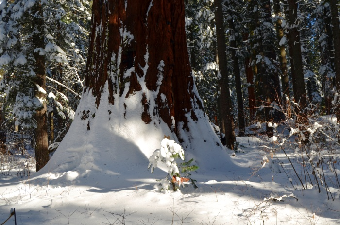Baby Sequoia Tree